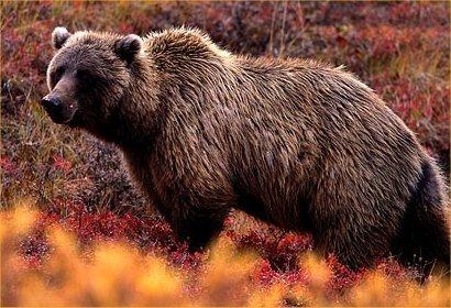 [grizzly-bear-vs-caribou.jpg]