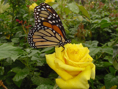 Yellow Rose Nacogdoches - Monarch Butterfly. Posted by Girls Tattoo at 20:28