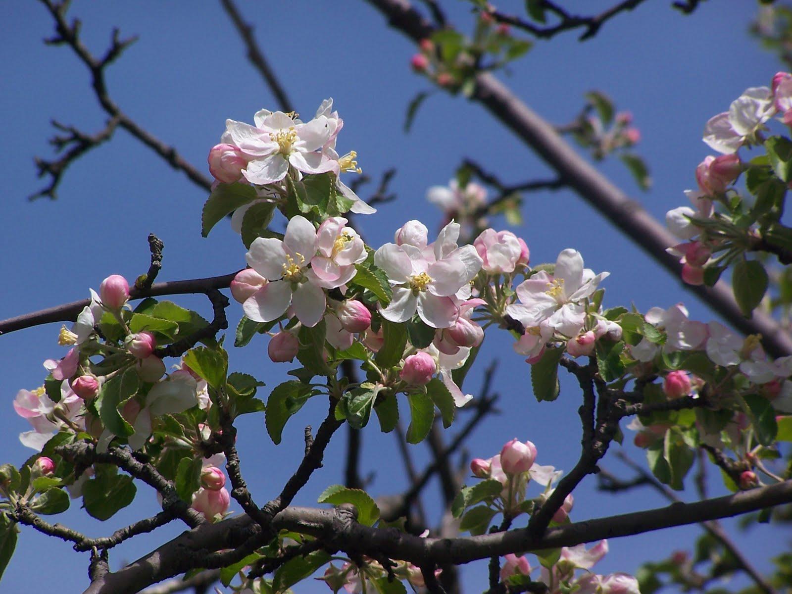 glory 39 s garden the last apple blossom. Black Bedroom Furniture Sets. Home Design Ideas