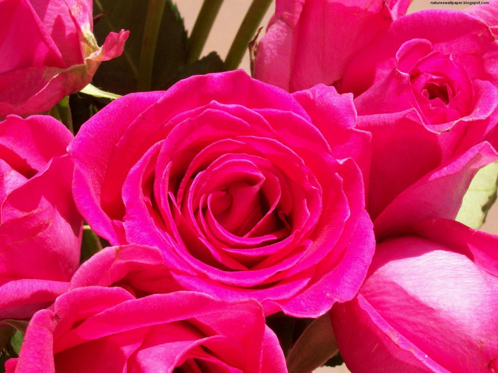 [2+dozen+pink+roses.jpg]