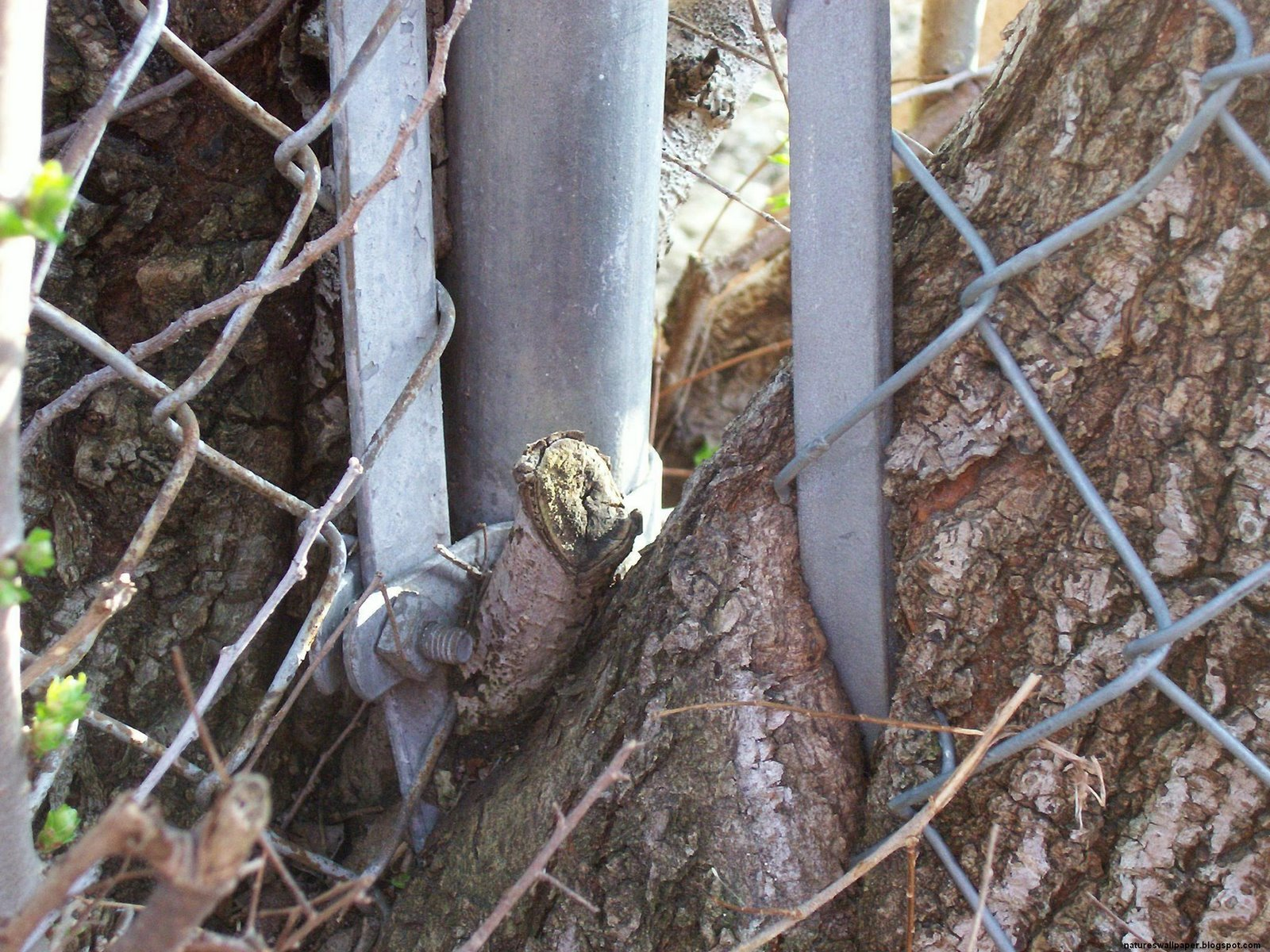[Tree+Eating+Chain+Link+Fence.jpg]