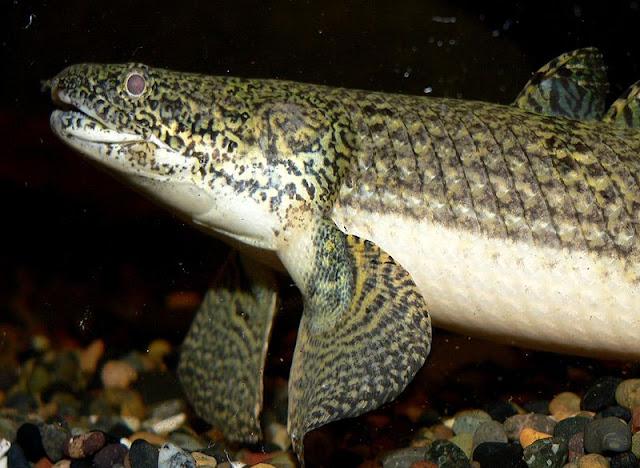 northern squawfish fish index weeksii bichir polypterus weeksii