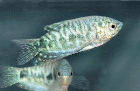 Fish Index Opaline Gourami Trichogaster Trichopterus
