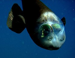 Barreleyes - The Fish With The See Through Head