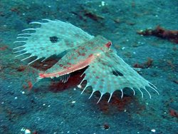 Oriental Flying Gurnard