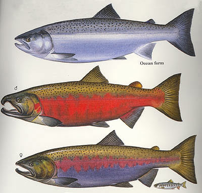 New Blog 1 Coho Salmon