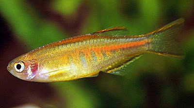 Fish Index Glowlight Danio Danio Choprai