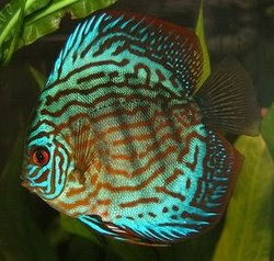 Red Turquoise Discus - Will Secrete Mucus Out Of Its Body To Feed Its Fry