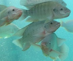 Nile Tilapia - Most Widely Domesticated Fish In The World