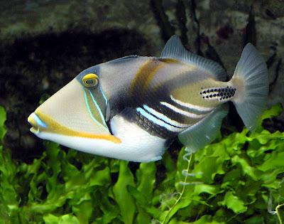 northern squawfish fish index huma huma trigger rhinecanthus aculeatus