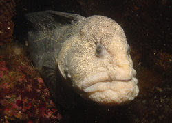 Wolf Eel, The Fish With The Human Face