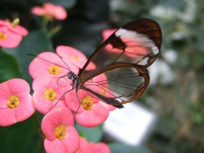Butterfly transparent winged butterflies, butterfly wing that like a glass