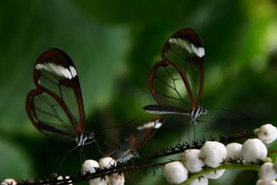 transparent winged butterfly