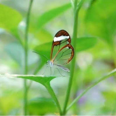 Butterfly transparent winged butterflies, transparent butterfly is not a hoax
