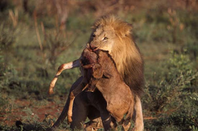 Lion and Prey