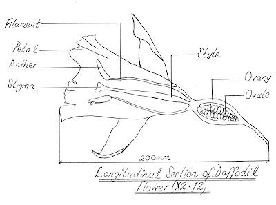 BIOLOGY ORDINARY LEVEL NOTES: HALF FLOWER