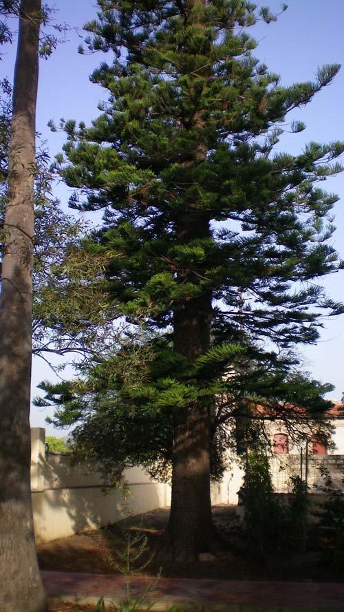 Araucària (Araucaria heterophylla). Alqueria laborde. Gandia