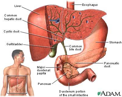 size of gall bladder - Ceri.comunicaasl.com