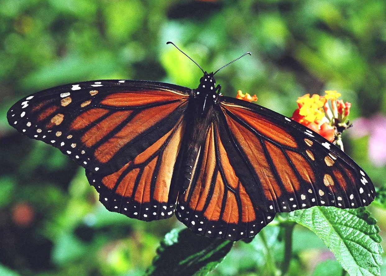 eScienceCommons: Do monarch butterflies use drugs? - photo#2