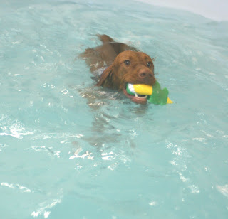 Vizslas are excellent swimmers