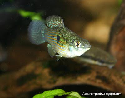 Aquarium algae eaters for Algae eating fish for ponds
