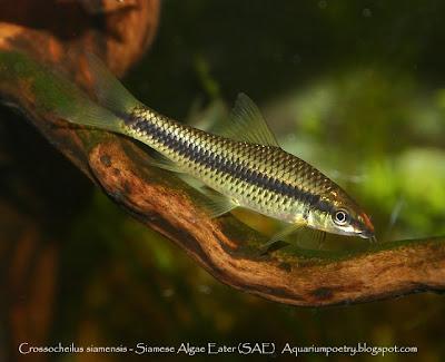 Aquarium algae eaters for What fish eat algae