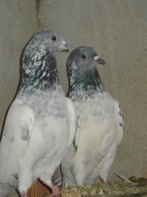 Sialkoti Choohay Pigeons ~ Pakistani Pigeons Videos and Photos