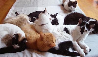 metronidazol giardia gatos