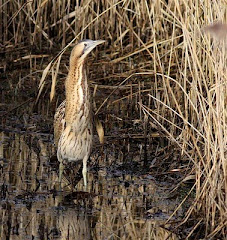 Bittern by Max Silverman