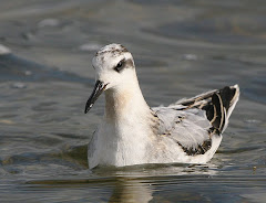 Grey Phalarope by Steve Seal