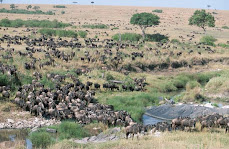 Wildebeests in Masai Mara