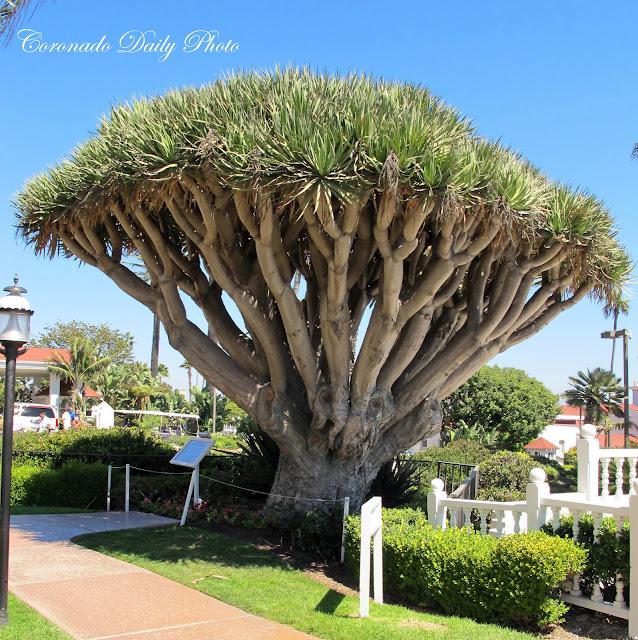 Coronado Daily Photo The Dragon Tree Story