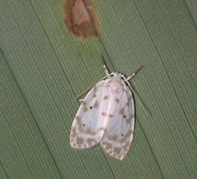 BunyipCo: Tiger Moths (Family Arctiidae)