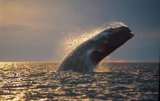 La ballena franca brinda un espectáculo digno de disfrutar