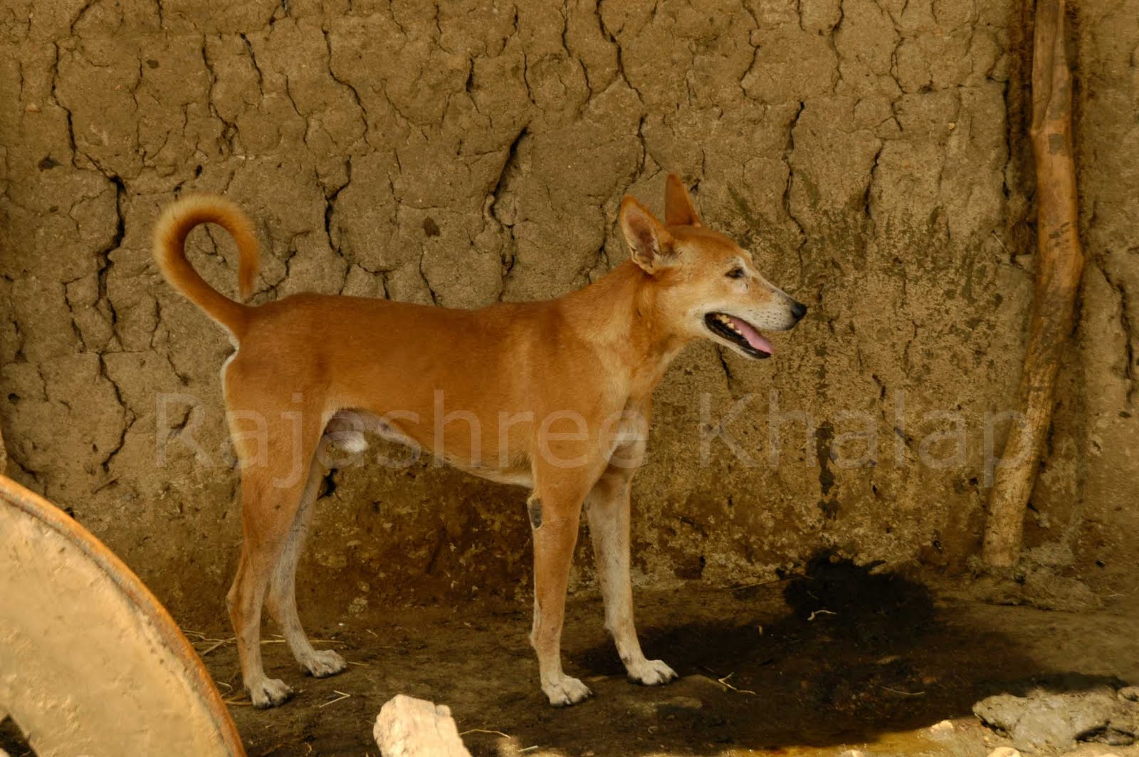Are You A Pariah Dog Fan Indogs Of Central India