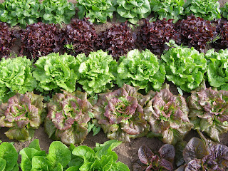 Thousand Flower Farm Lettuce And Kale