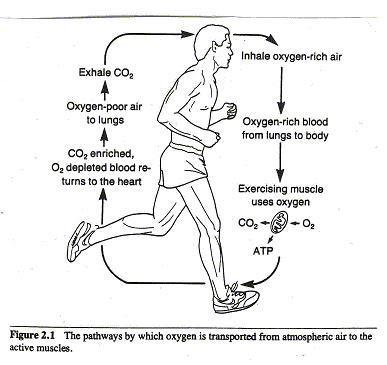 higado metabolismo - Información general Un