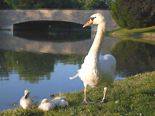 Stratford, Ontario Swans