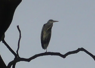 Heron unmoved