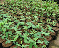 Sandalwood (Chandan) Nursery & Plantation