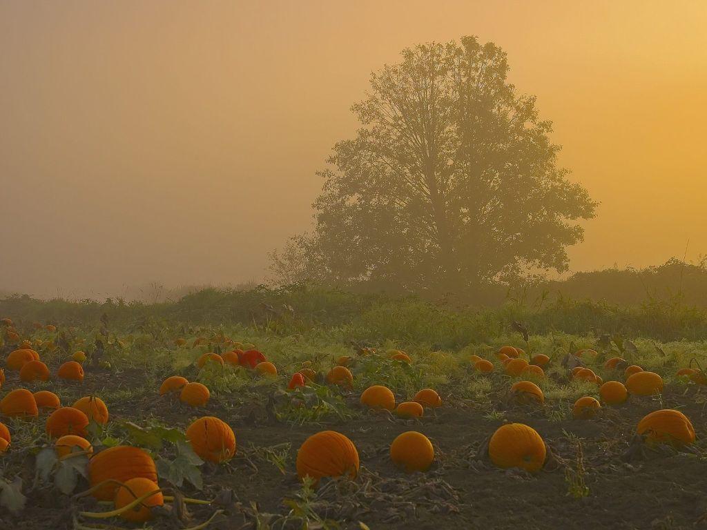 [Pumpkin_Patch_Westham_Island_Ladner_British_Columbia.jpg]