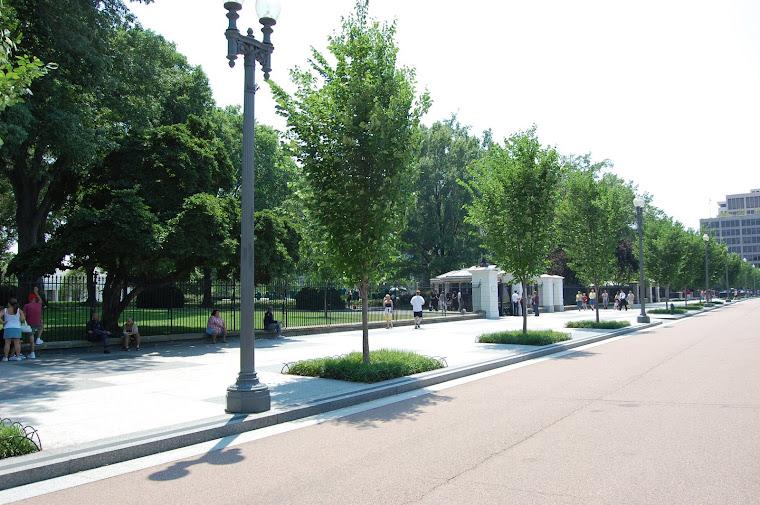 Princeton American Elm