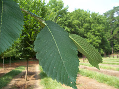 Leaf of the Princeton Elm