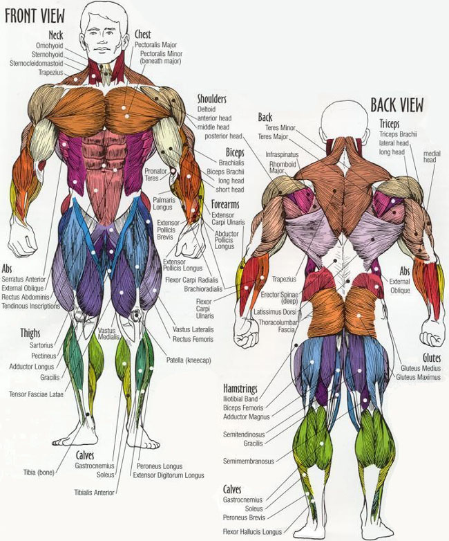 Muscle Group Innervation