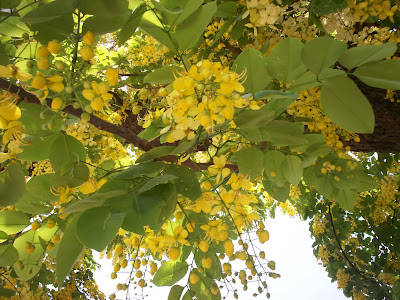 The Tree Is Not From My Garden But Several Of Them Are Planted Nearby Adding Beauty To Summer Landscape With Their Endearing Yellow Flowers