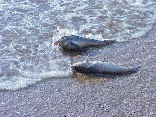 external image peces+muertos2.jpg