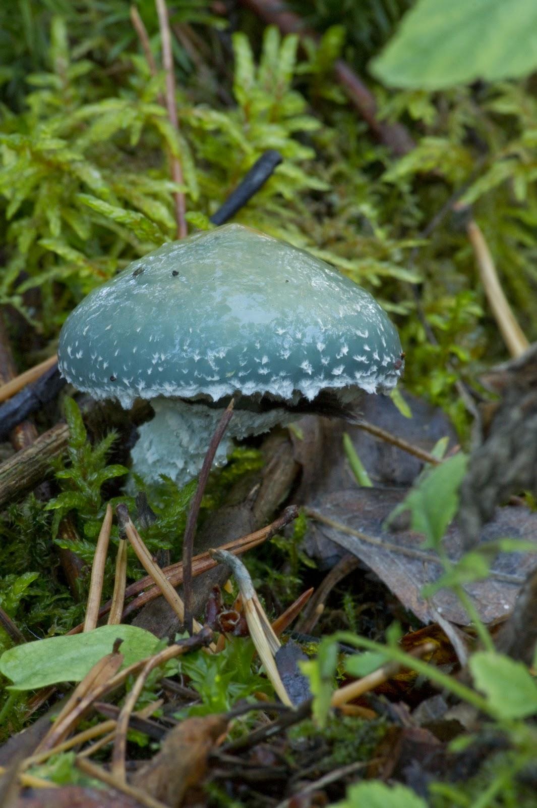 Sininen Sieni