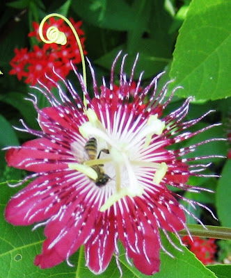 Honeybee with Passionflower