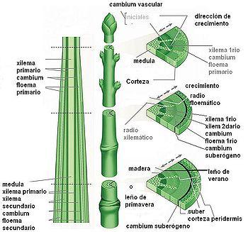 Anatomia Vagetal 2010