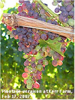 Veraison -- by Sue Courtney